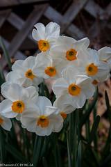 myyard, narcissus geranium 8w-o, perianthwhite, trumpetorange, jdy099 XX200604090831.jpg (rachelgreenbelt) Tags: daffodil narcissus jonquil familyamaryllidaceae 320flowers perianthwhite trumpetorange narcissusgeranium8wo narcissusgroup8tazetta usuallyfragrant periantspreadingnotreflexed stoutstems