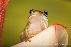 the noble frog (Sic Itur Ad Astra LRPS) Tags: macro canon flash amphibians creatures reptiles goldenbelltreefrog