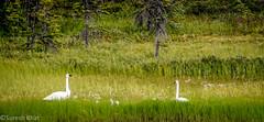 Tundra Swans - Alaska (sureshbhat) Tags: park sky mountains birds alaska landscape nationalpark unitedstates wildlife sony swans denali cantwell matanuska matanuskavalley denaliexpress denalinp scenicsnotjustlandscapes sonyphotographing sonyphotography sonyslta55 sonyslt emperorswans