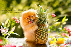 8/12.....have you hugged a pineapple today?? :P (Pomaroo) Tags: pink summer hot flower color green fruit golden hug bright bokeh sunny stack slice pineapple stems backlit splash 55th 12monthsfordogs14 wwwflintthepomeraniancom