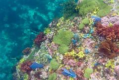 DSC_3762.jpg (d3_plus) Tags: sea sky fish beach coral japan scenery diving snorkeling  shizuoka   j1  izu seaanemone  softcoral    skindiving  minamiizu       nikon1 hirizo    nakagi  nikon1j1 1nikkor185mmf18  beachhirizo commoncoral misakafishingport