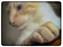 Proof They Are NOT My Toes (hbmike2000) Tags: cute texture cat hair fur paw furry nikon warm bokeh kitty siamese sharp claw d200 fuego regal textured dutchangle htt flamepointsiamese hbmike2000 fuegodelrey texturaltuesday