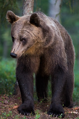 IMG_5260 (jamenpercy) Tags: bear wild brown nature rain forest finland fur dangerous wildlife fluffy scandinavia percy tiaga jamen jamenpercy