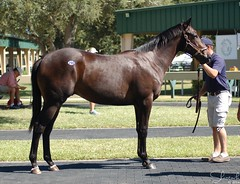 OBS Yearling Sale August 2014 (Shazstock) Tags: horse grey bay mare florida racing chestnut stable colt stallion thoroughbred equine ocala filly breeder yearling