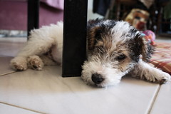 jipsy8 (NoLaCoCotte) Tags: dog chien france animal canon eos terrier fox chiot rhonealpes 1000d