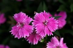 Dianthus 2 (firebird39) Tags: pink summer flower dianthus