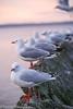 Gulls Rest (tzacolt_photography) Tags: new sunset seagulls water birds canon rotorua flight feathers zealand colony orrange canon2470ƒ28 canon5dmrkiii