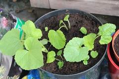 Hollyhock seedlings
