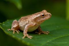 Spring Peeper (mghornak) Tags: macro canon amphibian frog peeper treefrog springpeeper canoneos5dmarkii