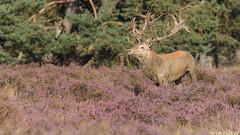 Meet the Boss(1)! (Wim Boon (wimzilver)) Tags: nature natuur reddeer veluwe avondlicht edelhert nationalparkdehogeveluwe wimzilver wimboon wildbaan hertenbronst hertenbronst2014