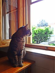 Looking out of the window (lacannella) Tags: window cat finestra gatto