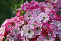 Mozart - Rosor hsten 2014012 (HAKANU) Tags: pink white flower rose garden geotagged bush colours blossom sweden smland shrub summerhouse mozart rosegarden rosebush rosarium
