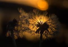 RIse of a New Night (jeanmarieshelton) Tags: light sunset sun sunlight macro closeup weed nikon bokeh dandelion seeds upclose jeanmarie jeanmarieshelton