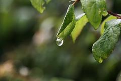 2016-06-17 Water drop_5417 (paulhunterhiggins) Tags: claydon oxfordshire plant leaf leaves rain water dewdrop waterdroplet countryside nature