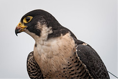 Peregrine Falcon (Mike McHolm) Tags: canada d80 grousemountain mcholm mikemcholm nikon vancouver