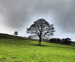 Lone tree (grahamramsden52) Tags: tree treesubject plant sycamore pennines calderdale