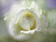 Dreamy White Rose (Smiffy'37) Tags: rose flower closeup nature beauty soft white artistic dreamy