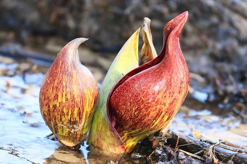 skunk cabbage flowers near Decorah IA 854A8675