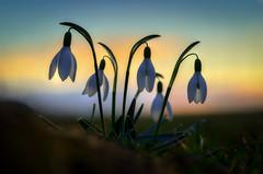 bedtime (epioxi) Tags: epioxi snowdrop schneeglöckchen frühling frühlingsbote signofspring spring galanthus