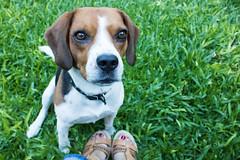 365-69 (Letua) Tags: mascota beagle amor amistad compañero yo autorretrato pies pasto perro pet striker love friendship buddy feet grass selfportrait troughherlens