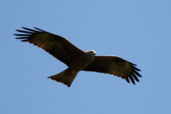 _F0A6737.jpg (Kico Lopez) Tags: galicia lugo milanonegro milvusmigrans miño spain aves birds rio