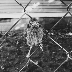 155/365 (moke076) Tags: atlanta bw baby bird oneaday mobile ga fence georgia waiting cellphone cell posed photoaday perched 365 cabbagetown iphone 2014 project365 365project vsco vscocam