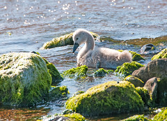 North Shore Cygnet (g crawford) Tags: sea bird water clyde seaside swan cygnet backlit crawford contrejour ayrshire ardrossan seamill bythesea firthofclyde ayrshirecoast norhayrshire
