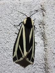 Nepali Moth (John Steedman) Tags: nepal moth nepali nationalmothweek