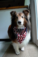 happy 4th of July!   25/52 (courtney065) Tags: pets dogs bravo 4thofjuly shelties canines shetlandsheepdogs leicadlux4 52weeksfordogs