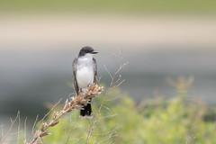 Eastern Kingbird (NickJaramillo) Tags: nature birds canon branch nj f56 eastern 400mm kingbird easternkingbird 70d canon400mmf56 njbirds