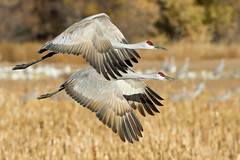 Race you to the pond!! (dennis.zaebst) Tags: birds sandhillcranes bosquedelapachenwr naturethroughthelens excellenceinavianphotography avianexcellence naturesspirit ngc