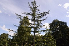 (Osyam-osyam) Tags: blue summer sky color tree green film nature june pine clouds branches grain symmetry evergreen botany larch