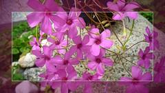 Sauerklee (Wolfgang's digital photography) Tags: natur pflanzen blumen klee blten sdamerika sauerklee panasonictz7