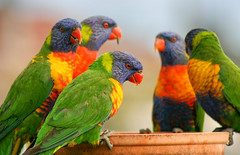 Lorikeet Party (aussiegall) Tags: bird feathers lorikeet feeder