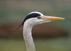Profile portrait of a heron (Tambako the Jaguar) Tags: portrait white black france heron face zoo nikon bokeh profile gray beak mulhouse d4