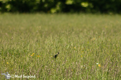 The bobolink (Threatened in Ontario).