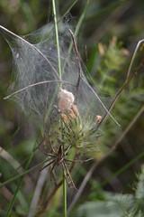 Arañitas en la nursery protegidas por la mamá (esta_ahi) Tags: barcelona españa fauna spider spain araña arachnida penedès aranya avinyonet испания