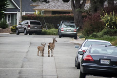 Octofawn (Arian Durst) Tags: deer illusion freak pacificgrove