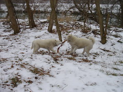 "Czar and Hudson In A Tug Of War • <a style=""font-size:0.8em;"" href=""http://www.flickr.com/photos/96196263@N07/14553484662/"" target=""_blank"">View on Flickr</a>"