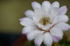 Cactaceae (ddsnet) Tags: camera cactus plant lens succulent sony hsinchu taiwan resolution  cactaceae  ilc      sinpu hsinpu 7r interchangeable  mirrorless      interchangeablelenscamera  7r ilce7r