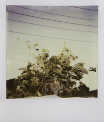 (Lesley Rivera) Tags: sun flower tree lines project landscape polaroid power pastel 600 impossible