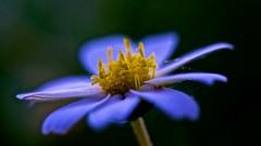 Blue Petals (M Brian M) Tags: blue summer flower macro yellow austin spring flora purple stamen softfocus