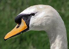 MH-16463.jpg (mark-hutchinson-photos) Tags: uk birds places swans florafauna eyemouthandlocale