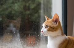Hennessy is afraid of the loud rain - Explore 11 July 2014 (Fifi-2012) Tags: window wet water rain cat fur ginger kitten whiskers explore meow afraid scared hennessy