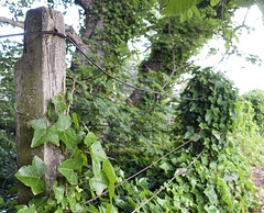 HFF! The ivy fence (Elisafox22 Busy this coming week!) Tags: trees green fence scotland wire aberdeenshire post sony ivy banff macduff overrun fencefriday fencedfriday elisafox22 rx100m3