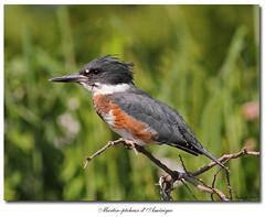 Martin-pêcheur d'Amérique / Belted Kingfisher  IMG_8636 (salmo52) Tags: birds oiseaux victoriaville beltedkingfisher cerylealcyon martinpêcheurdamérique rivièrebulstrode salmo52 alaincharette
