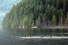 Up in the mountain lake (Gordana AM) Tags: blue summer mountain lake canada west green vancouver forest port swimming landscape photography evening coast photo moody photographer bc many britishcolumbia group august fresh evergreen distance portcoquitlam gordana lowermainland tricities lepiafgeo wwwgordanaphotocom gordanamladenovic buntzan