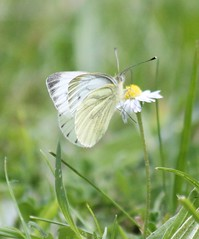 Large white butterfly (kaylo88) Tags: white butterfly insect large cabbagewhite bigbutterflycount