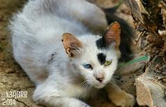 # #  # #  #Takenbyme #ksa #cat #Coloredeyes #Saudiinstagram #all_shot  #Colored #eyes #Colored_eyes #Coloredeyes #beatiful #bestsnaps #shotaward #arb_funs #sony_official #arab_photographers #photos #igs_photos  #phototag_it #500px (photography AbdullahAlSaeed) Tags: blue green animal animals cat photo eyes photos takenbyme colored beatiful ksa      coloredeyes   500px  arabphotographers shotaward bestsnaps sonyofficial allshot phototagit igsphotos saudiinstagram arbfuns