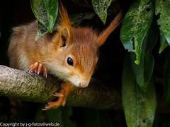 Red squirrel (xrxss15) Tags: animals germany tiere europe mammals everydaylife animalia eichhörnchen redsquirrel badenwürttemberg sciurusvulgaris sciuridae tamiasciurushudsonicus säugetiere eurasianredsquirrel europäischeseichhörnchen squirrelschipmunksmarmotsprairiedogs